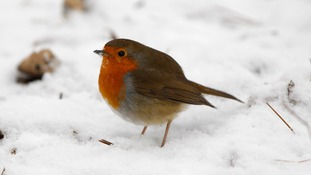 Robin redbreast voted Britain's favourite bird
