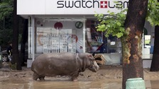 A hippopotamus walks across flooded street in Tbilisi, Georgia.