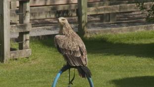 Protecting Cumbria's birds of prey