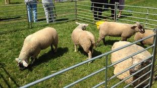 Sheep grazing on Durdham Downs