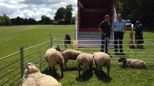 Sheep on Durdham Downs