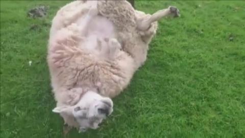 Sheep_WEB___FB