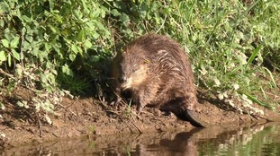 'Daddy' beaver waits for his offspring to make it across the water