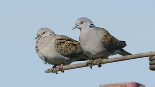 Tracking Titan the turtle dove on its 3,500-mile round trip from Suffolk to Africa and back again