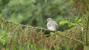 East Anglia is on the front line of efforts to save UK turtle doves.