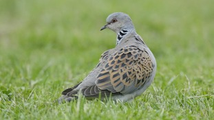 East Anglia supports nearly two-thirds of the current UK breeding population of turtle doves.