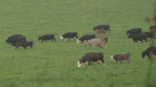 The cows surrounded the brothers and knocked them to the ground twice