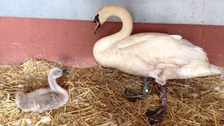 Father swan and remaining cygnet being cared for at South Essex Wildlife Hospital following dog attack.