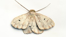 """The Morphology of Native Moths"""