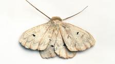 """""""The Morphology of Native Moths"""""""
