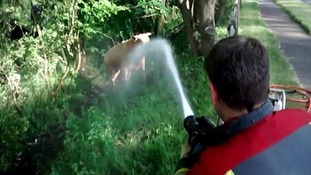 Angry bulls hosed off by firefighters during cow rescue
