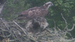 Ospreys in their nest near Bassenthwaite