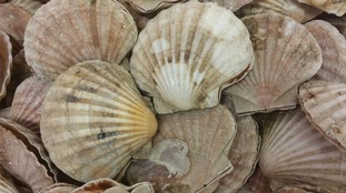 The South West's fishing industry is enjoying one of the best King Scallop seasons for many years