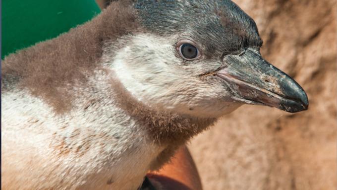 Abu the penguin