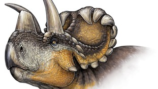 Scientists discover 'wendiceratops' - a dinosaur ancestor of triceratops