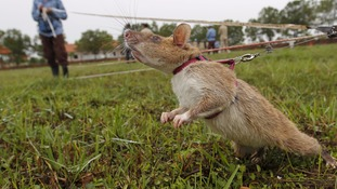 Trained rats help clear Cambodian minefields