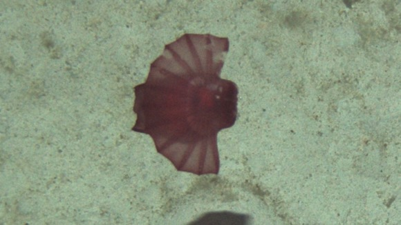 Enypniastes Spanish Dancer