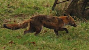 Fox-hunting vote postponed