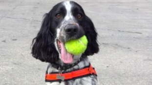 Dexter the cocker spaniel is the new Fire Investigation dog for the East Midlands