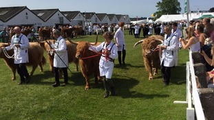 row of exhibitors leading cows