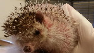 African pygmy hedgehog dumped like a piece of rubbish in a wet cardboard box