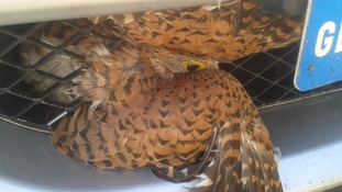 A kestrel is recovering after flying into the front of a car on Norfolk.