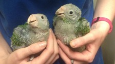 Rare parrot numbers increased thanks to Newquay Zoo