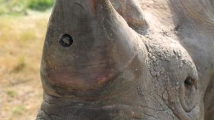 Rhino spy cameras to help crackdown on poachers