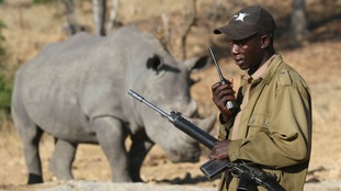 Rhinos are poached for their horns, which are used for medicine and dagger handles.