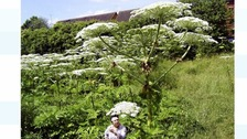 Giant hogweed - know how to spot it and how to remove it safely.