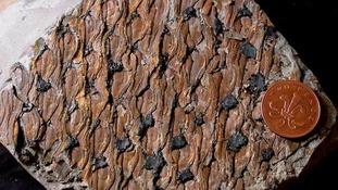Fossil bark