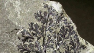 Fossilised fern