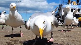 Menacing gulls