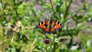 Red Admiral  JESSICA TAYLOR
