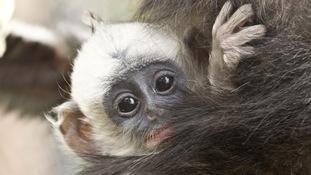 monkey, baby, zoo, Howletts, Kent