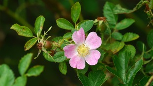 A rare type of wild rose may have been growing unnoticed in the grounds of a castle in Staffordshire since the 16th century