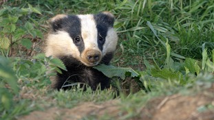 The Wildlife Conservation Charity has been carrying out a badger vaccination programme.