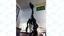 Iggy the Iguanodon