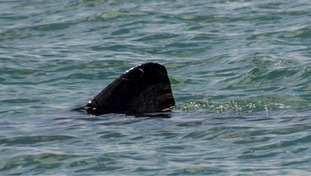 20ft long basking shark spotted in Tor Bay