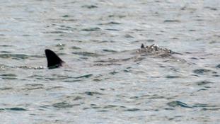 Basking sharks feed on plankton