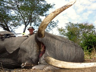Dr Seski pictured with a dead elephant.