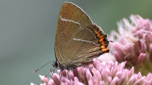 White-letter hairstreak caterpillars feed exclusively on the flower buds and leaves of elm trees.