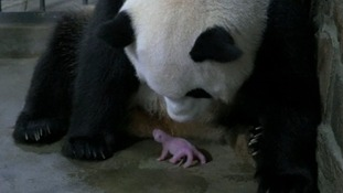 Third pair of giant panda twins born in five days in China