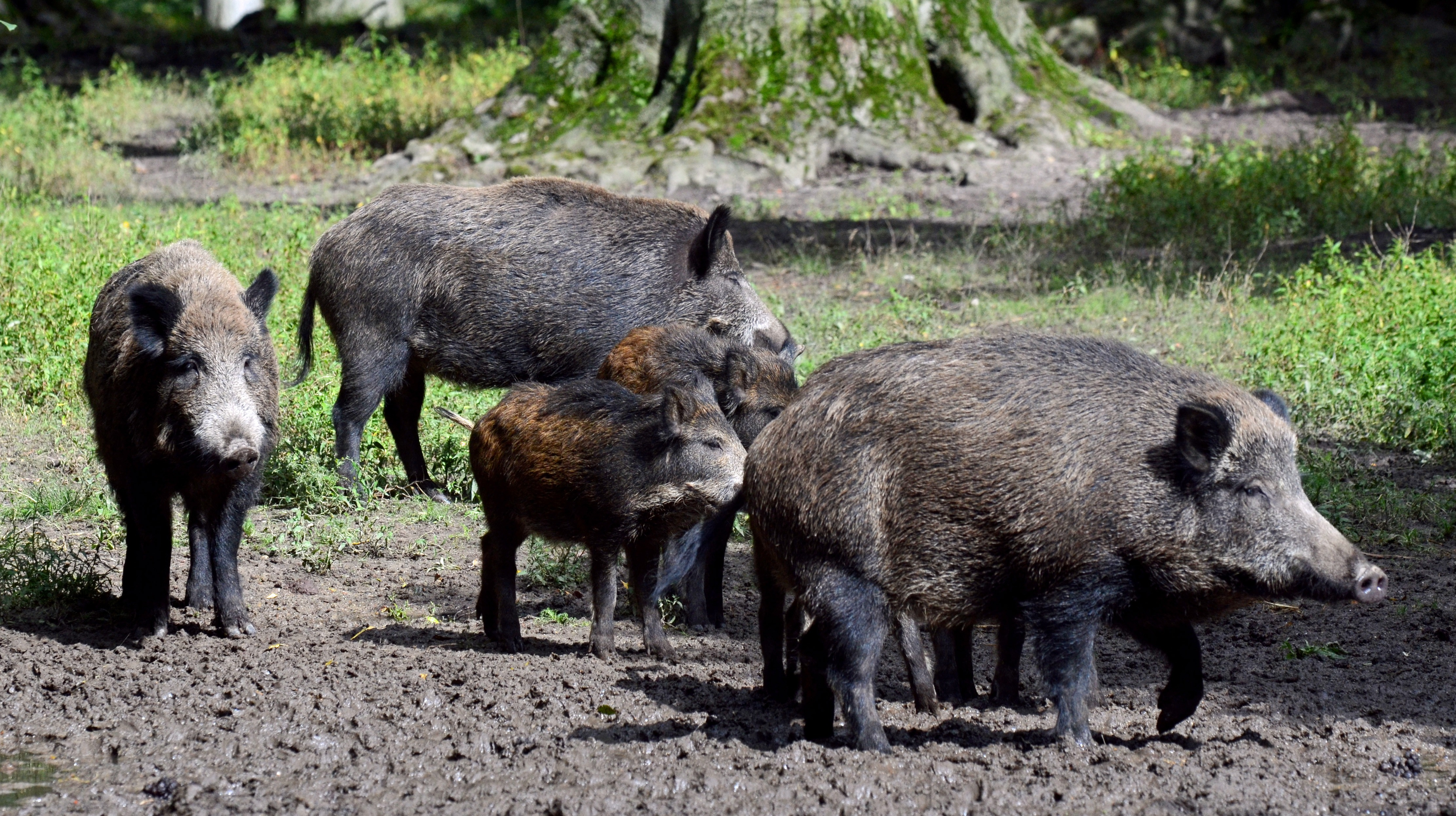 italian pensioner mauled to death by wild boar