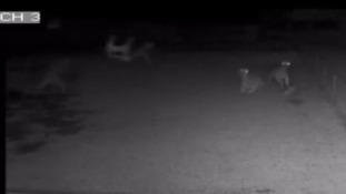 A garden chair flies through the air towards the alpacas during the attack.