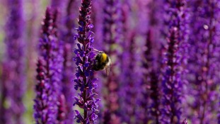 Kent scheme to save bumblebees proves a success