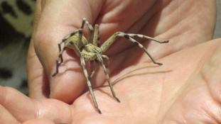 Stowaway African spider makes its way to UK