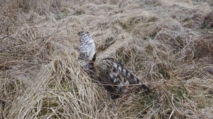 Young female harrier Annie
