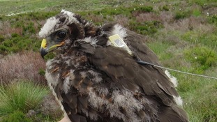 Annie the hen harrier