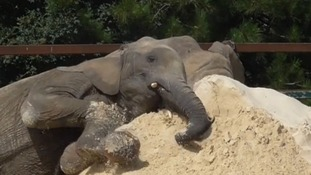 VIDEO: Elephants snuggle into sand at very own beach